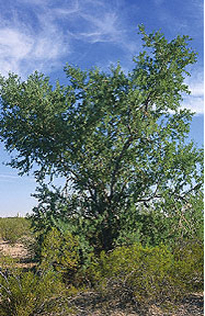 ironwood-tree